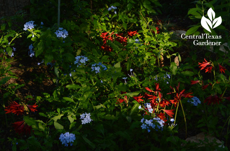 oxblood lilies blue plumbago Central Texas Gardener