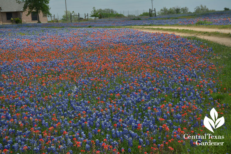 Front yard prairie bluebonnets Indian paintbrush Central Texas Gardener