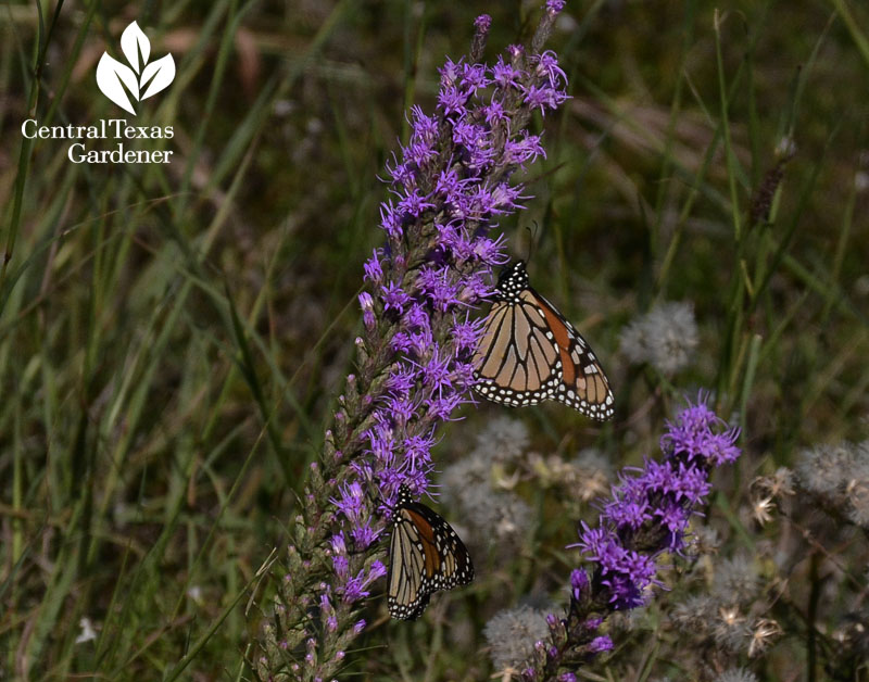 Monarch butterfly on liatris Central Texas Gardener