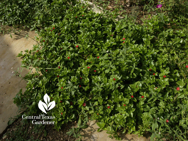 Aptenia groundcover Central Texas Gardener