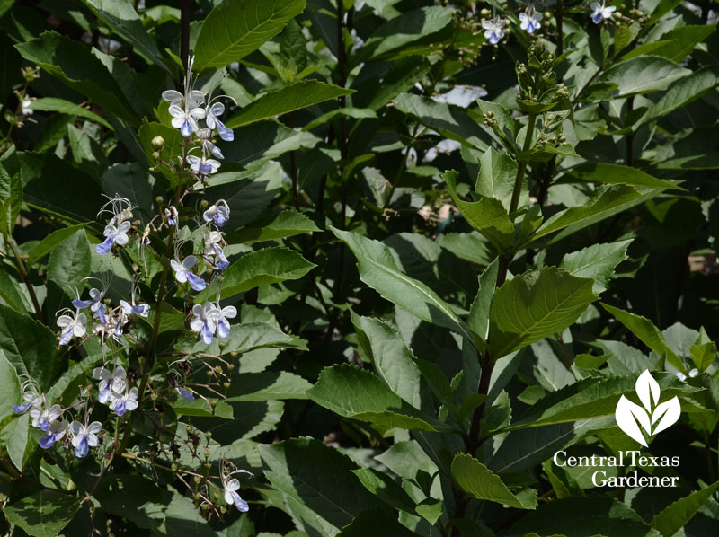 blue clerodendrum for butterflies Central Texas Gardener