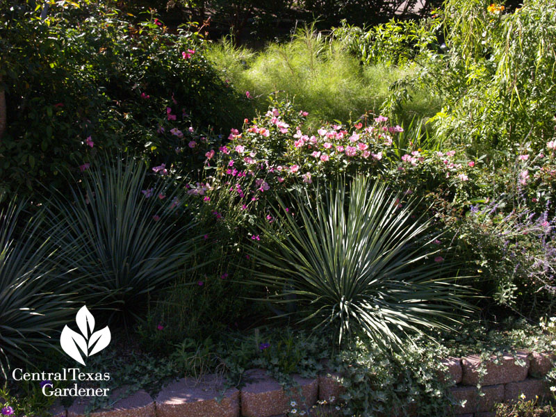 yucca roses bamboo muhly front yard garden Central Texas Gardener