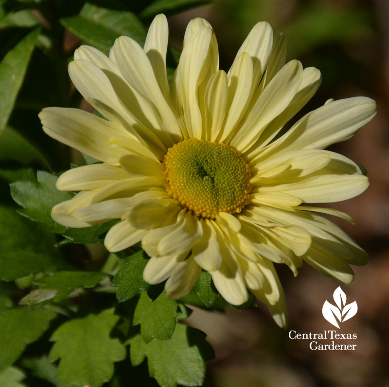 Butterpat chrysanthemum Central Texas Gardener