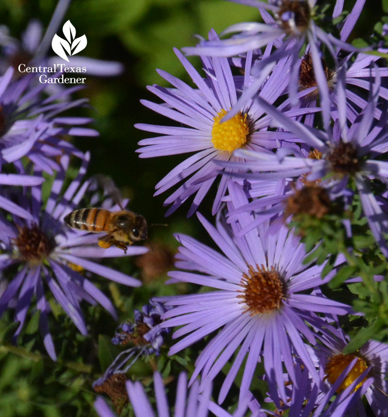 bee going for fall aster Central Texas Gardener
