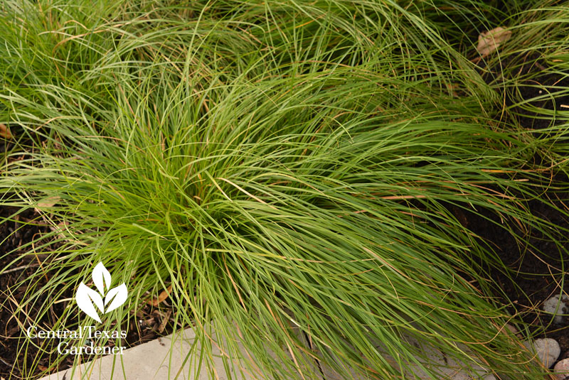 berkeley sedge Central Texas Gardener
