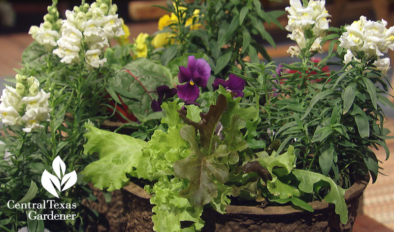 lettuce swiss chard, snapdragons, pansies Central Texas Gardener