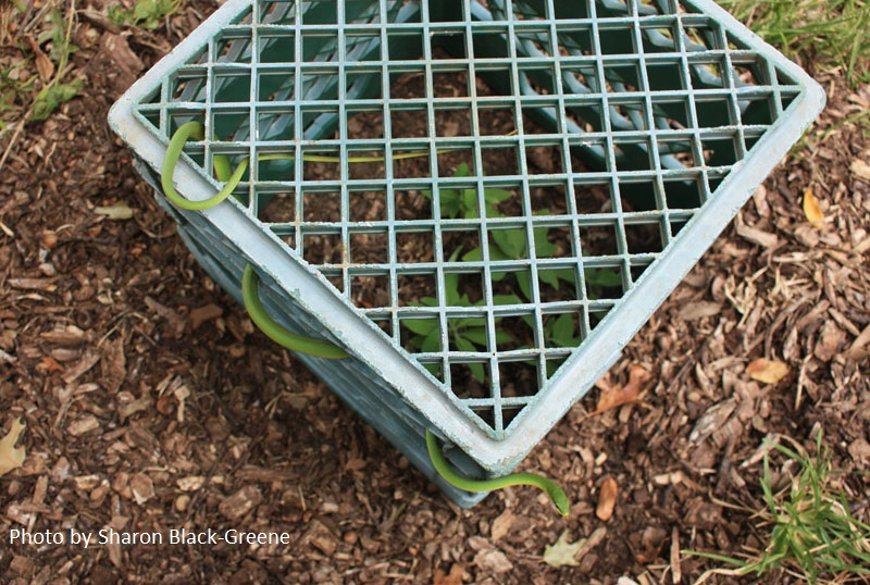milk crate protect plants Sharon Black-Green Central Texas Gardener