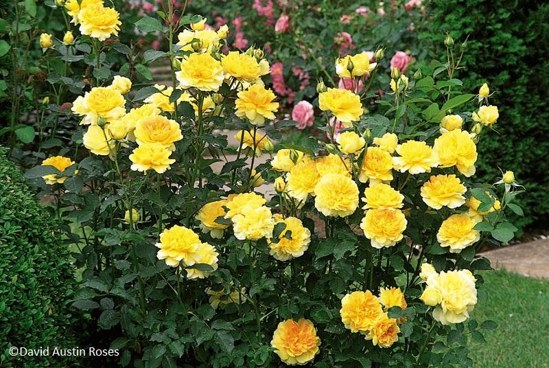 Giveaway David Austin Roses Central Texas Gardener