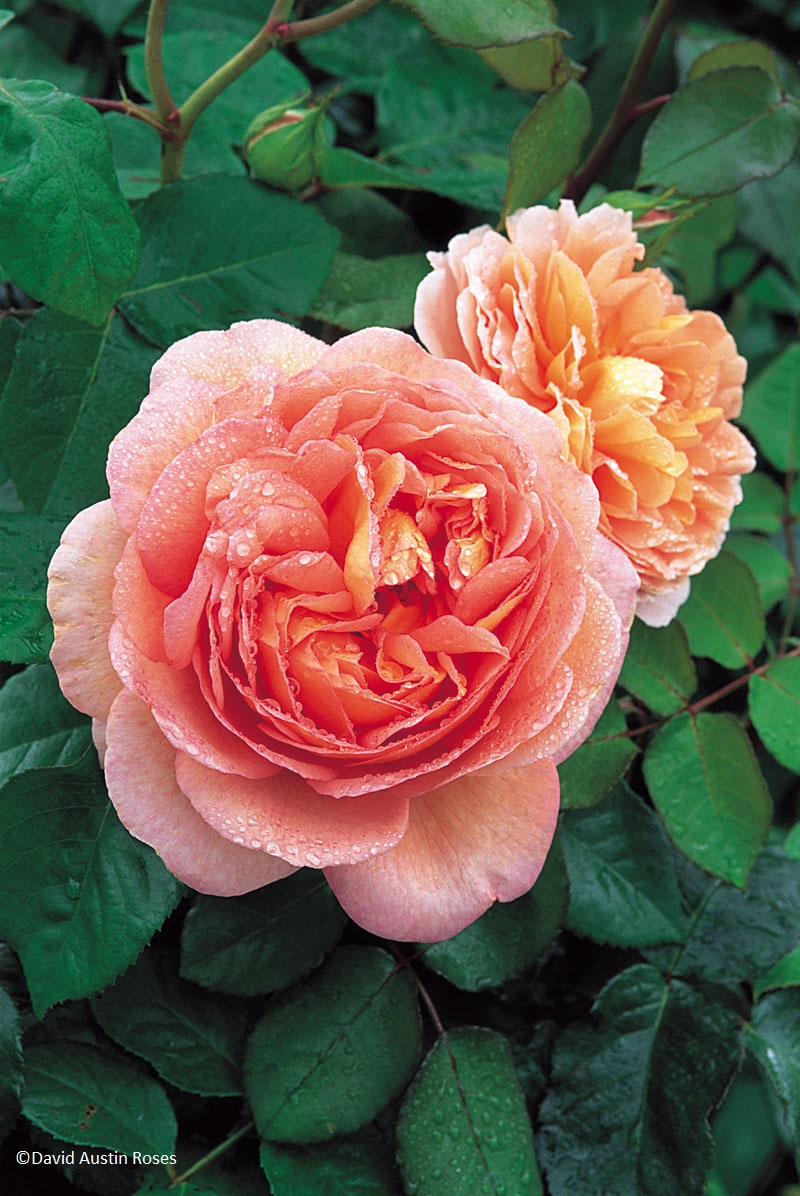'Abraham Darby' is one of the most splendid of all David Austin Roses. Its very large cup-shaped flowers are apricot and yellow at first, becoming tinted with pink over time. The bush is well-rounded with vigorous, healthy growth and hardiness. It grows to 5 ft tall by 5 ft wide or 8 ft as a climber. Its fruity fragrance is strong and rich with a refreshing sharpness. It is an excellent repeat-bloomer. (David Austin 1985, Auscot).