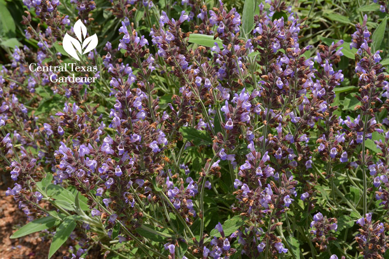 Newe Ya'ar sage flowers Central Texas Gardener