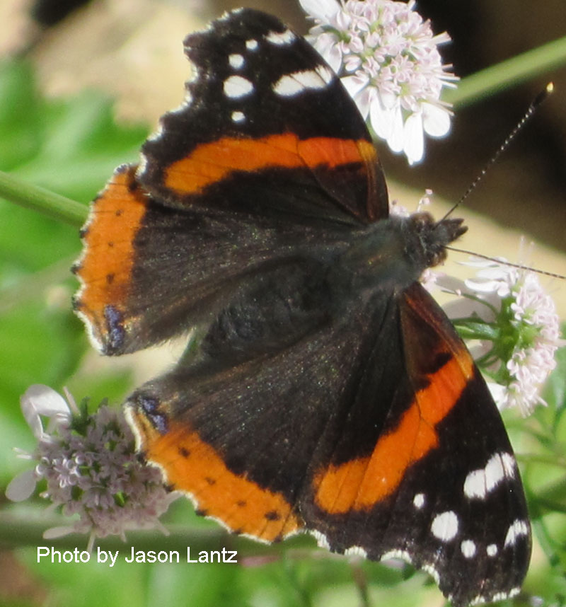 Red Admiral butterfly on cilantro flowers Central Texas Gardener