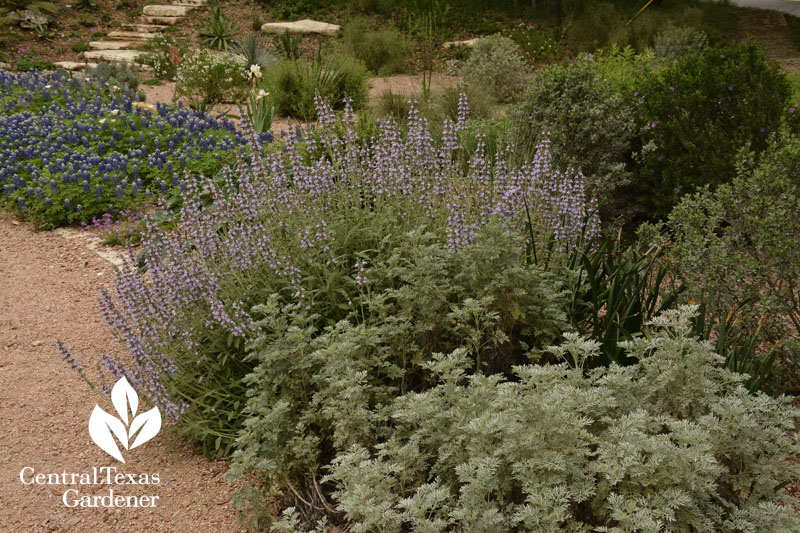 ne'we yaar sage artemisia bluebonnets Central Texas Gardener