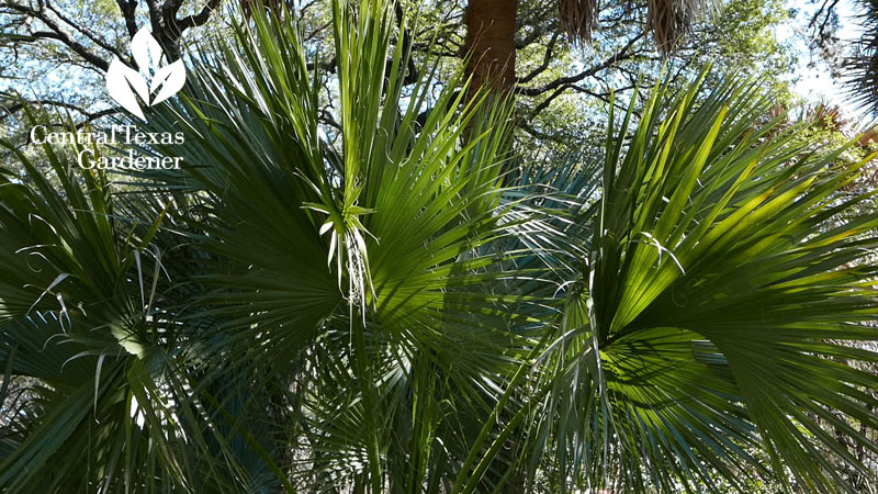 Sabal mexicana, Texas palmetto Central Texas Gardener