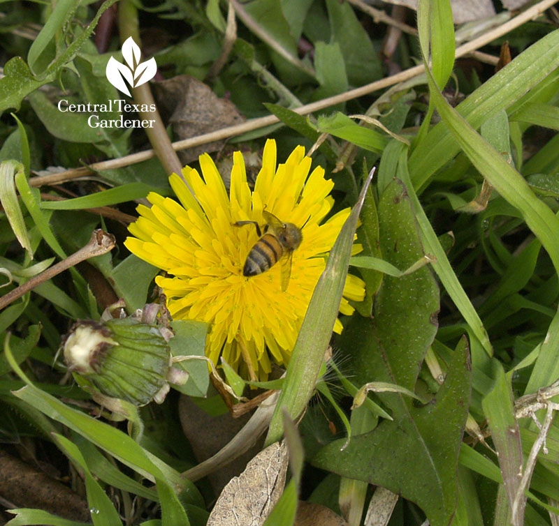 bee on dandelion flower Central Texas Gardener