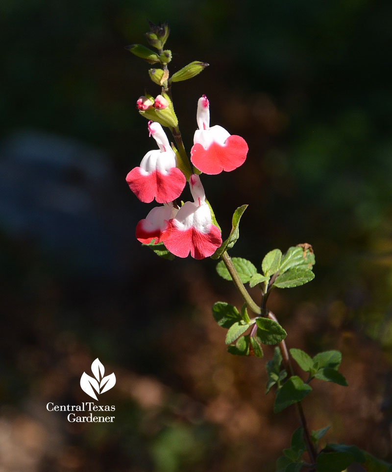 hot lips salvia Central Texas Gardener