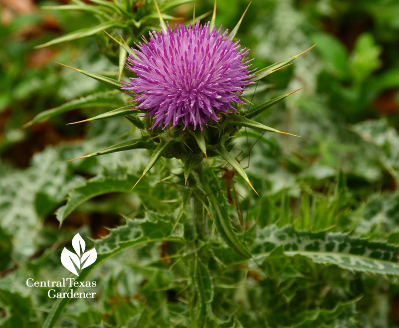 milk thistle flower Central Texas Gardener