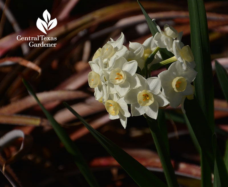 narcissus billbergia Central Texas Gardener