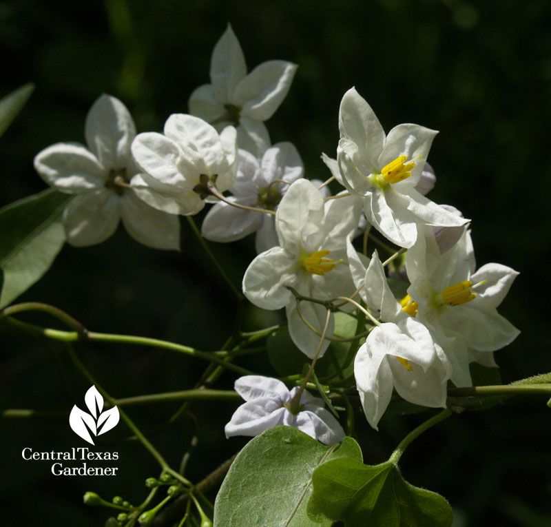 white blooming evergreen potato vine Central Texas Gardener
