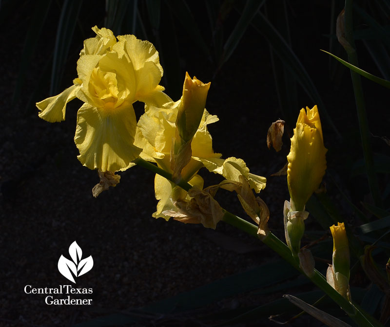 yellow bearded iris Central Texas Gardener