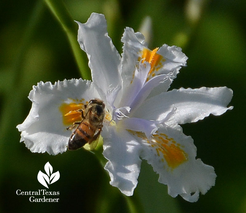 Iris nada and bee Central Texas Gardener