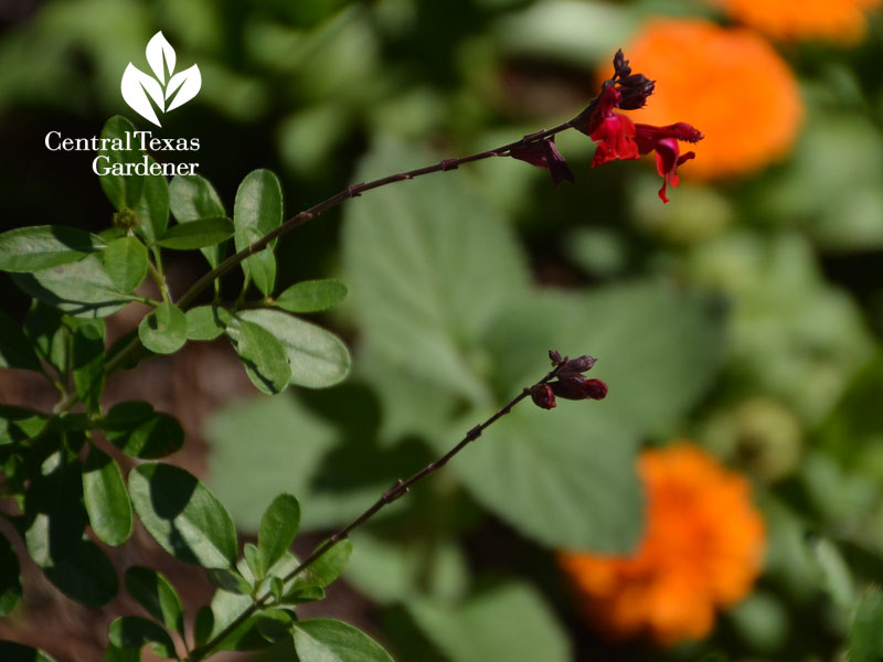 Salvia greggii and calendula nice duo Central Texas Gardener