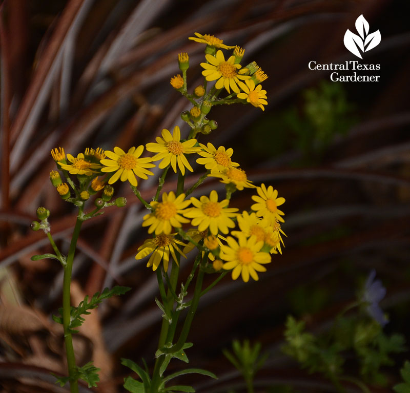 golden groundsel and billbergia Central Texas Gardener