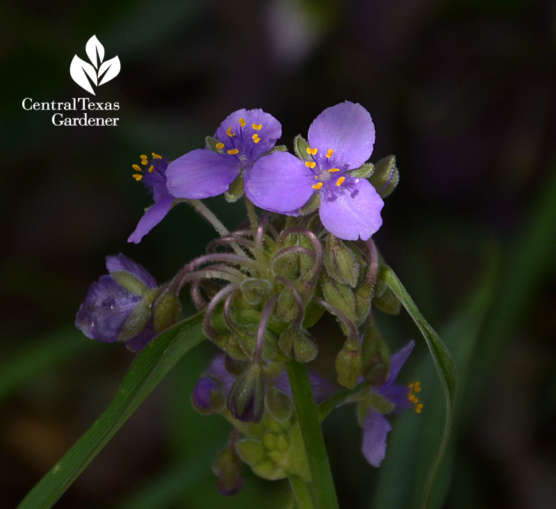 native spiderwort Central Texas Gardener