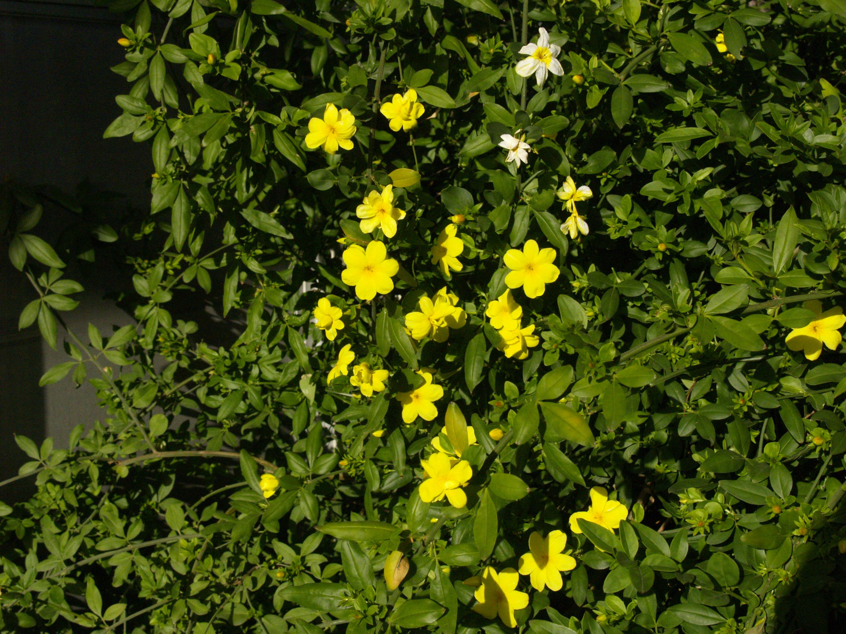 Rebirth Of A Rose And Garden Central Texas Gardener