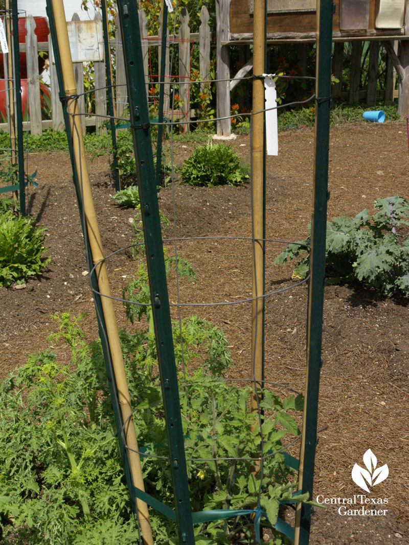 tomato stake with T-post and bamboo Central Texas Gardener