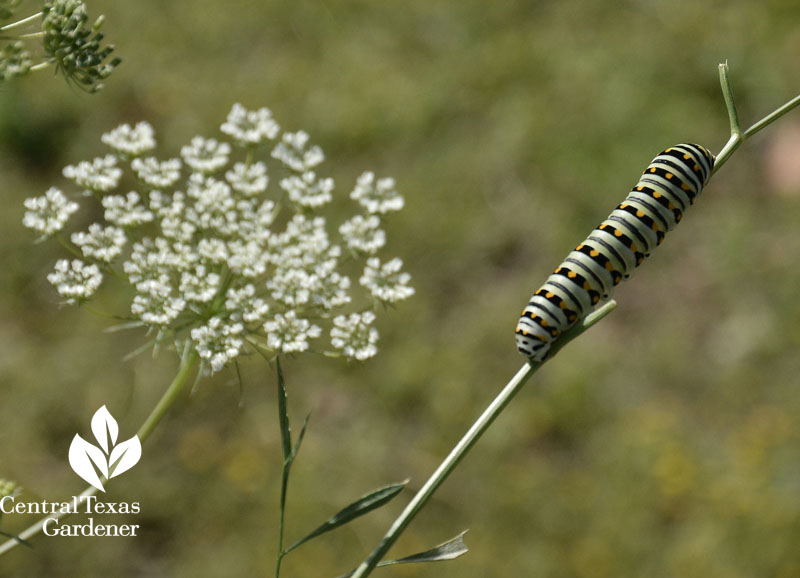 Eastern Black Swallowtail caterpillar on parsley Central Texas Gardener