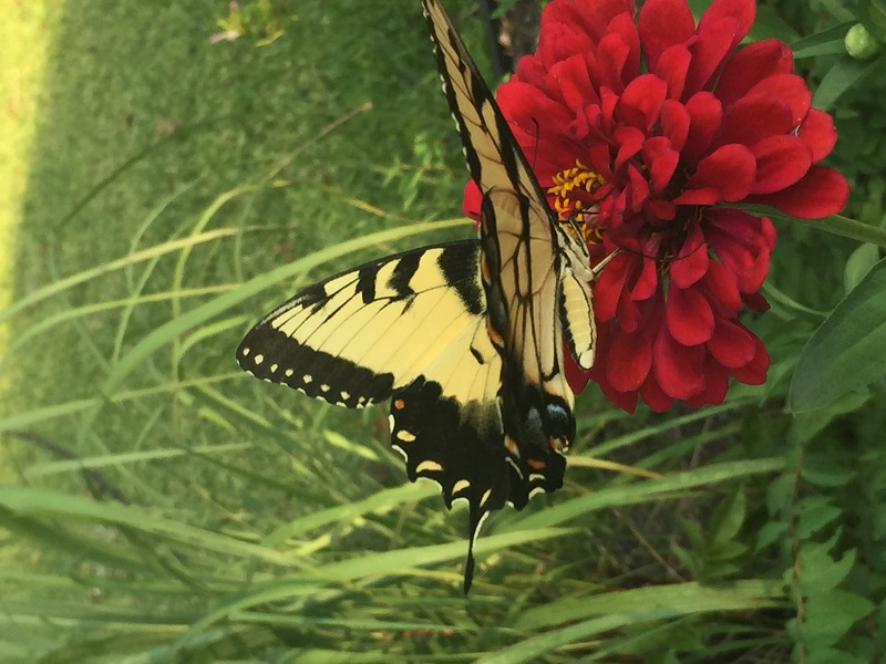 Eastern Tiger Swallowtail Rusty Brindle CTG