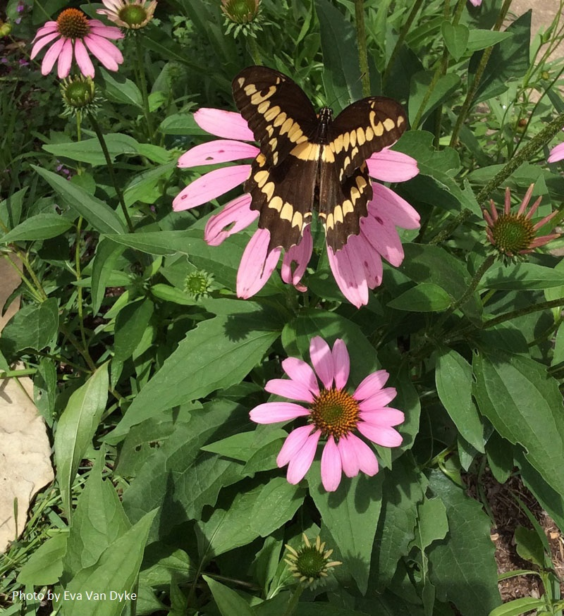 Giant Swallowtail on coneflower Central Texas Gardener