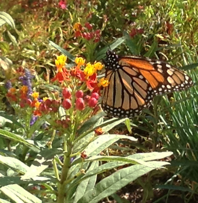 Monarch butterfly Rob Seiler  CTG