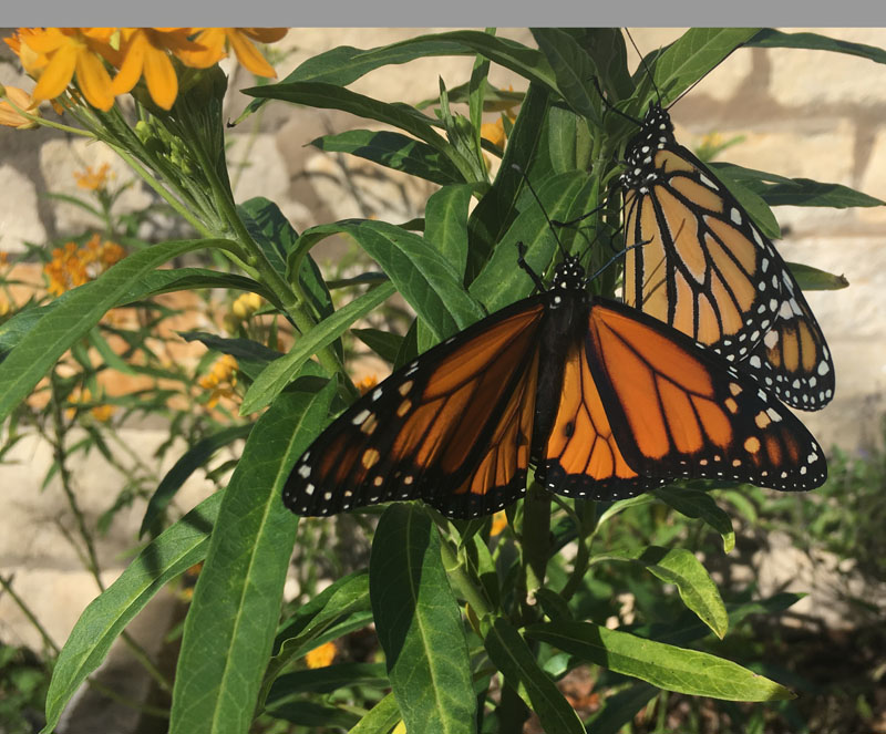 Monarch butterfy Robyn Squyres CTG