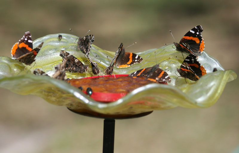Red Admiral butterfly mash Trussell CTG