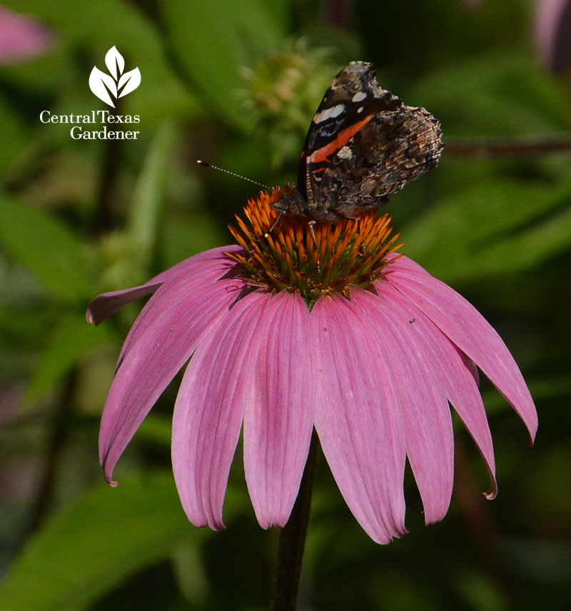 Red Admiral butterfly on coneflower Central Texas Gardener
