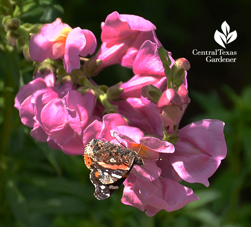 butterfly Red Admiral snapdragon lucinda copy