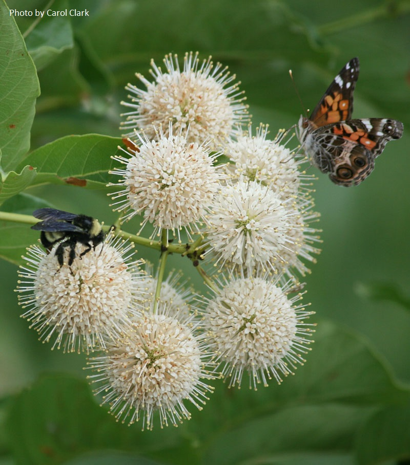 buttonbush bee and Red Admiral Central Texas Gardener
