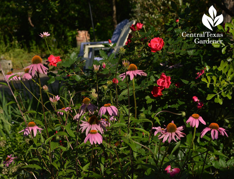 coneflower knock out rose Central Texas Gardener