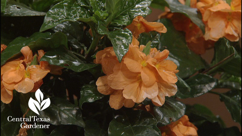 'Orange Marmalade' crossandra Central Texas Gardener copy