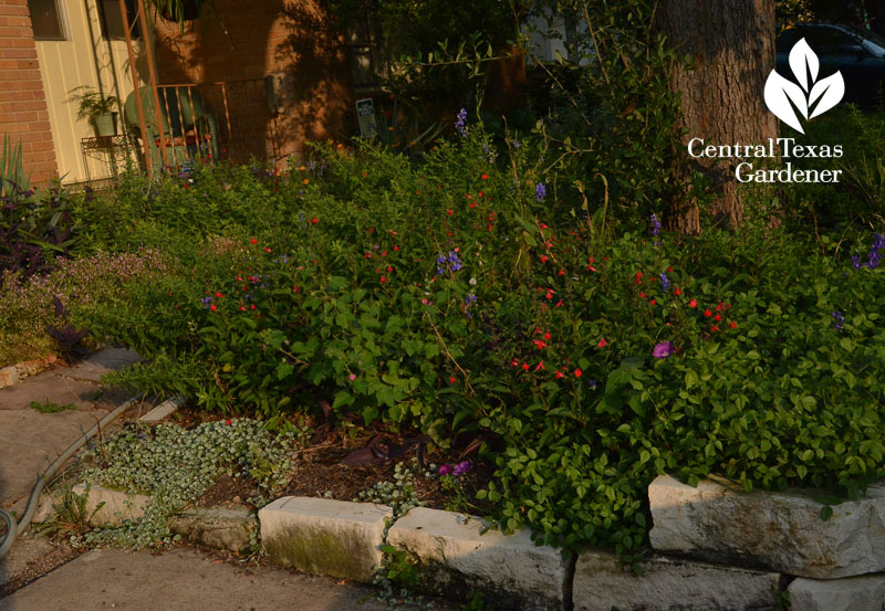 driveway garden salvia asters Central Texas Gardener