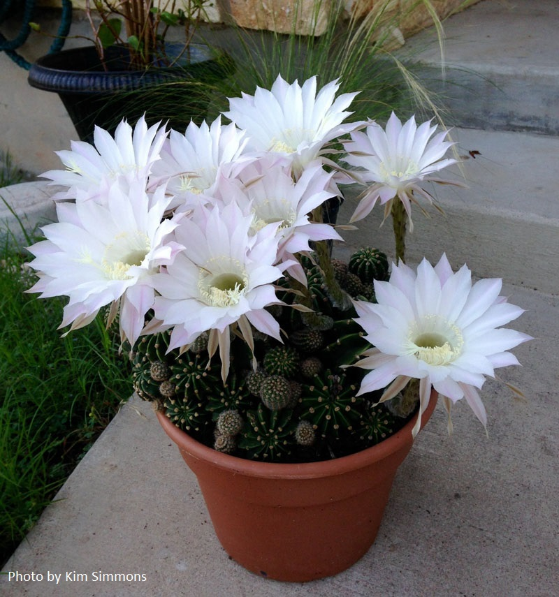 Easter barrel cactus Central Texas Gardener