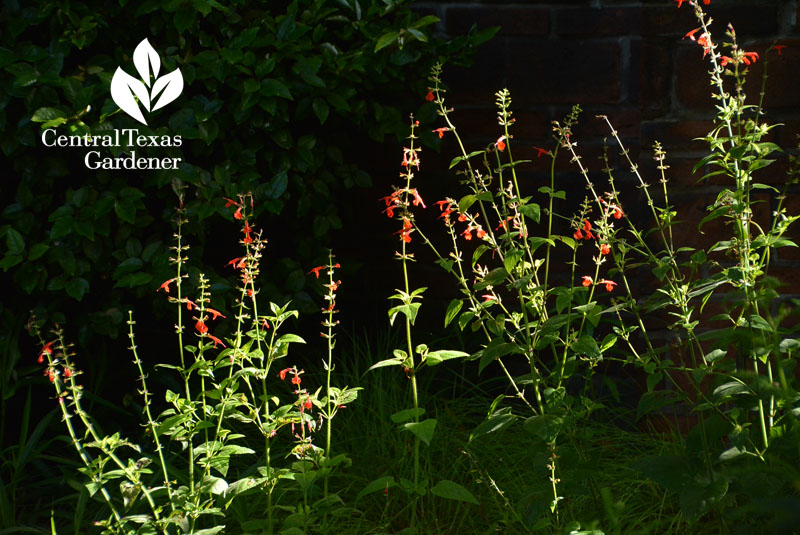 Salvia coccinea Central Texas Gardener