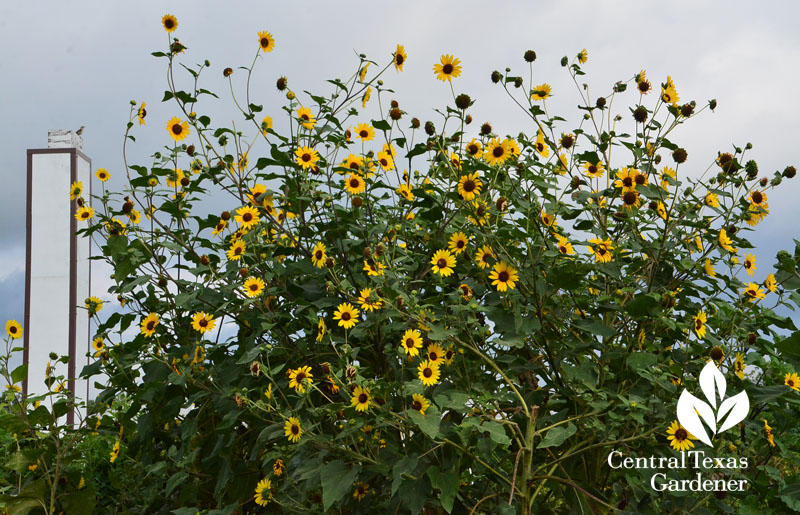 chimney swift sunflowers Central Texas Gardener