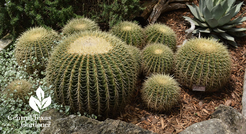 golden barrel cactus and pups Central Texas Gardener