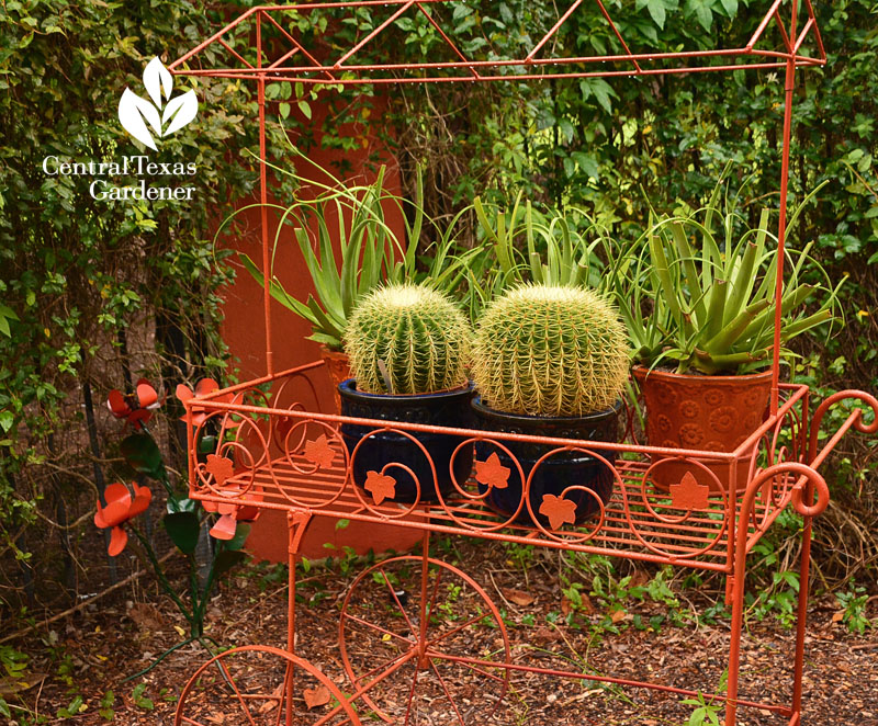 golden barrel cactus orange trolley blue pots Central Texas Gardener