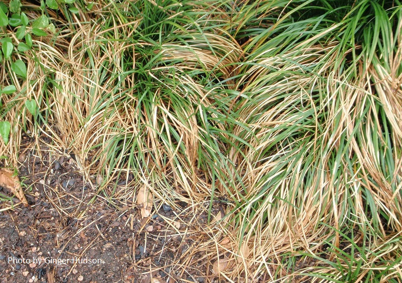 heat and water stressed monkey grass Central Texas Gardener