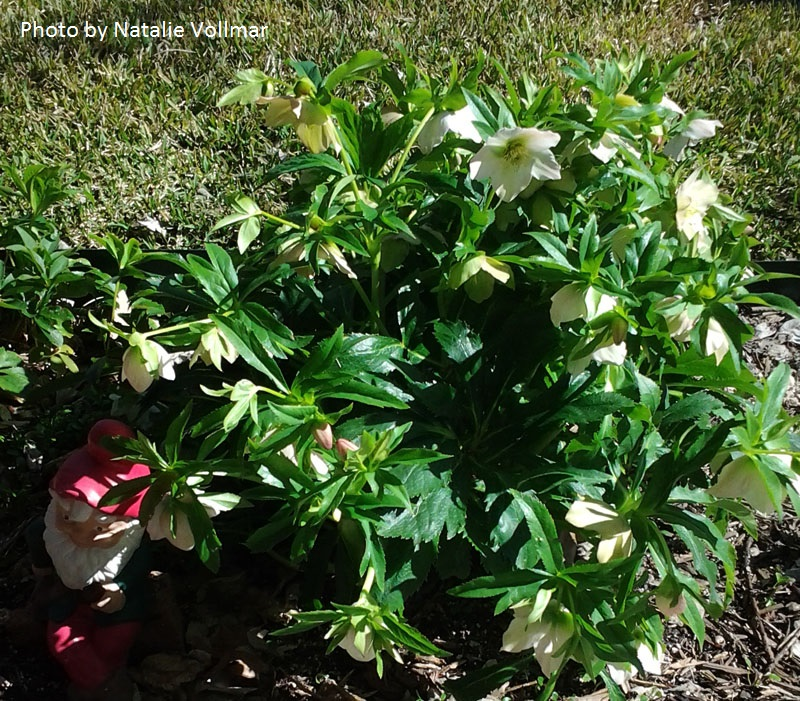 hellebore in Texas Central Texas Gardener
