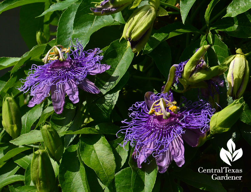 purple passion vine Central Texas Gardener