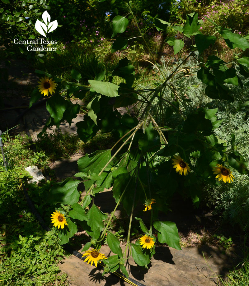 sunflower collapse Central Texas Gardener